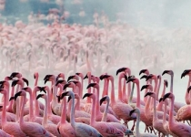 lake-nakuru-flamingoes