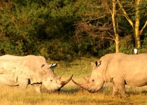 rhinos-charging
