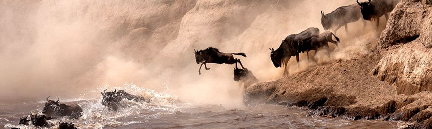Wildebeest Migration across the Mara River in Kenya