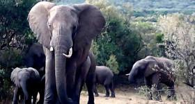 Elephants in the Amboseli