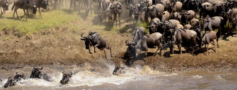 Masai-Mara-Adventure-Wildebeest