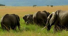 Amboseli Elephants